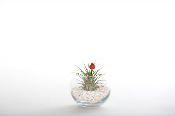 Dried Red Bud Terrarium - Small - With Plant/White Rocks