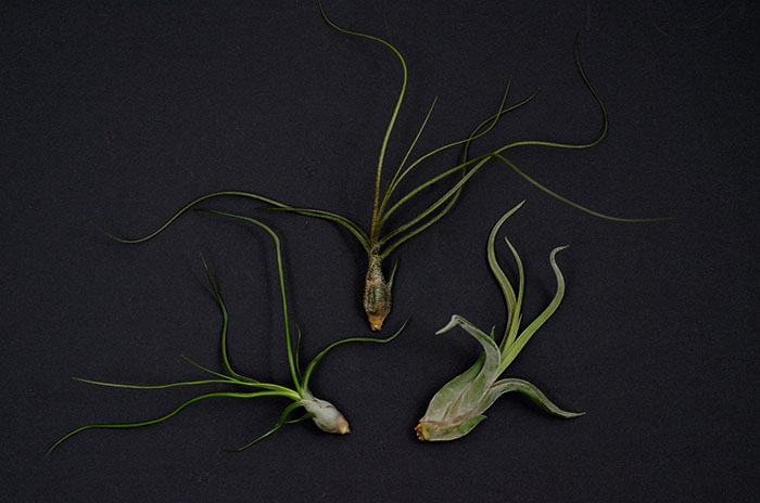 Air Plant 3 Pack - Wild Variety