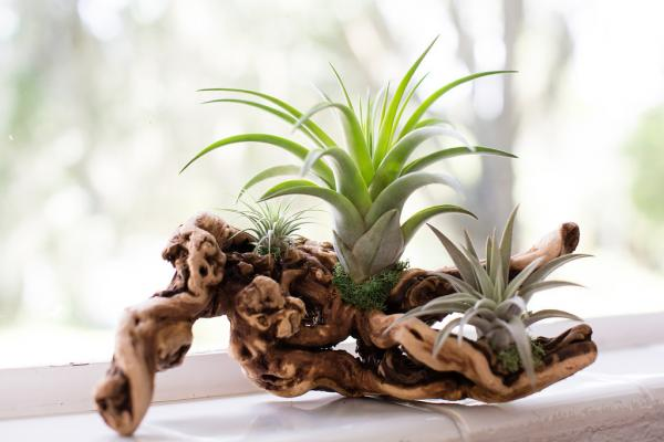Air Plant Grapevine Wood Arrangement - Medium