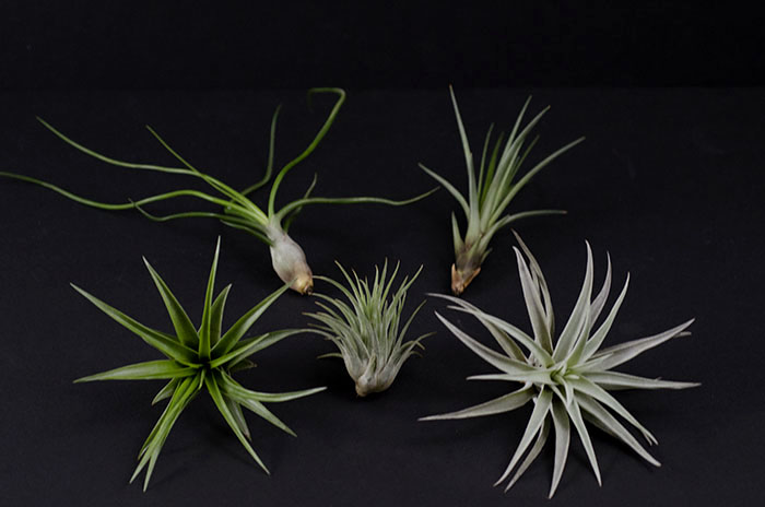 Natural Air Plant Mix - 5 pieces