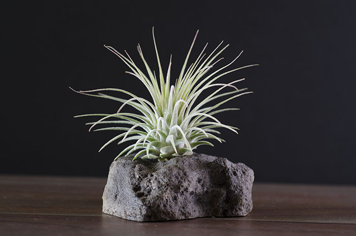 Lava Rock Display - With Plant