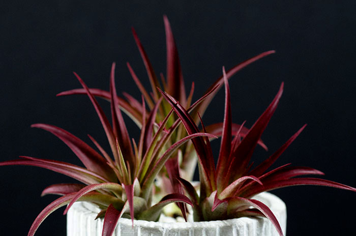 3 Abdita Air Plants - Tinted Red