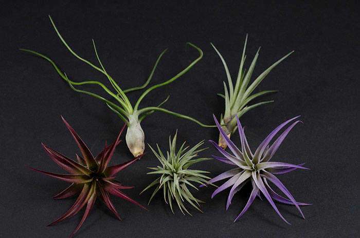 Air Plant Mix - Color - 5 Pieces
