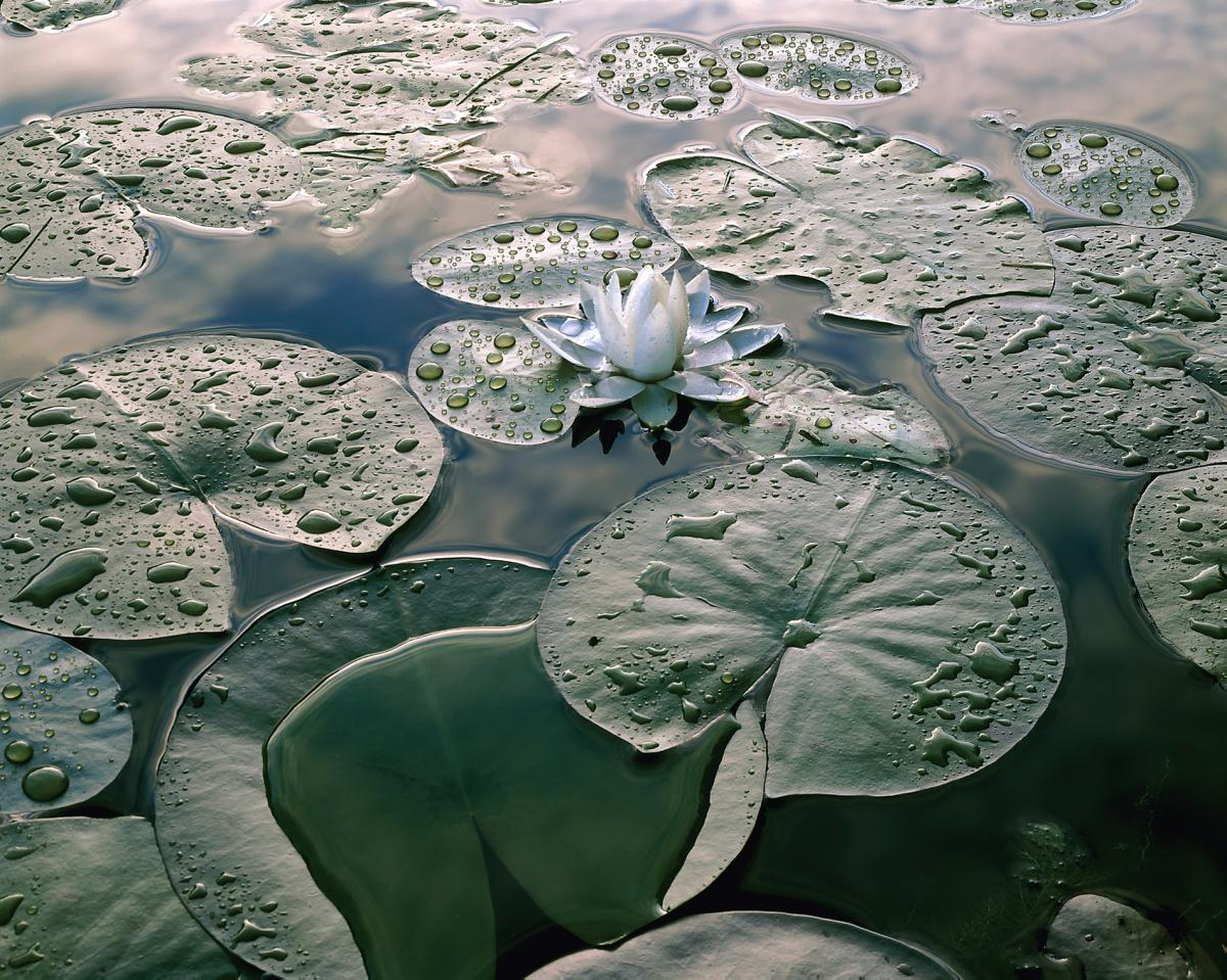 """Waterlily"", 24""x30"" Framed photograph"