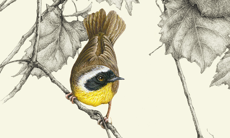 """Common Yellow-throated Warbler"" picture"