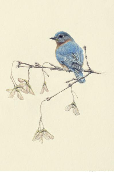 """Gentle Spring"" - eastern bluebird and maple picture"