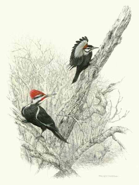 """The Girl Nextdoor"" - pileated woodpeckers male and female picture"