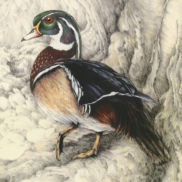"""River Woody"" - wood duck"