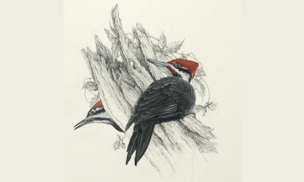 """Spring Flirtation"" - male and female pileated woodpeckers"