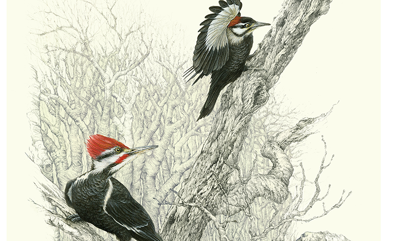 """The Girl Nextdoor"" - pileated woodpeckers male and female"