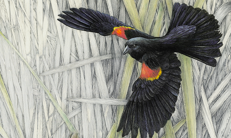 """Keeping Watch"" - male and female red-winged blackbirds with some hidden critters"