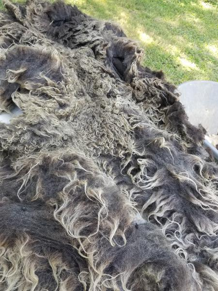 Charcoal Grey with silver tips Shetland Fleece 4.lb FL#24 picture