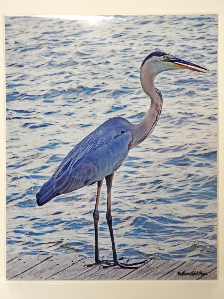 "8x10 Un-matted Print - ""Blue Heron Fishing"" picture"