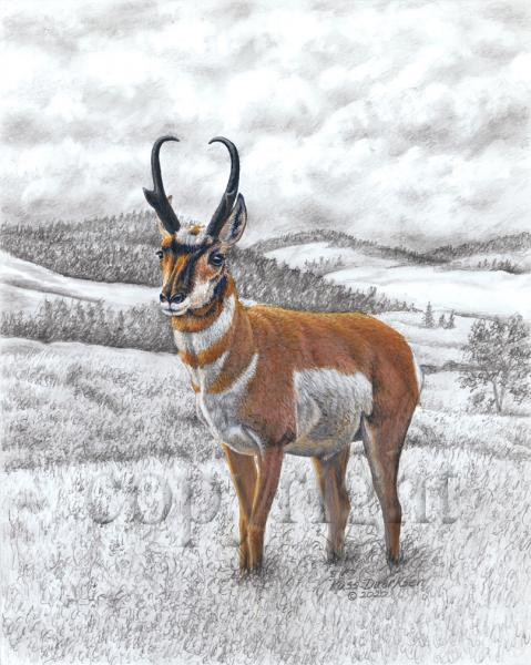 Pronghorn - Giclee Canvas