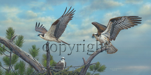 """Osprey Family""  - Giclee Canvas"