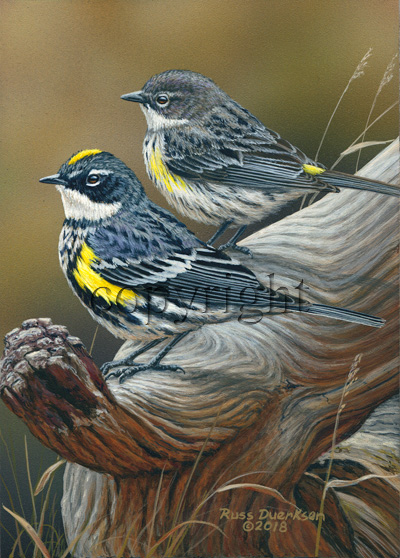 Yellow-rumped Warbler - Giclee Canvas
