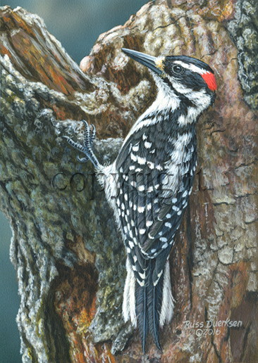 Hairy Woodpecker - Giclee Canvas