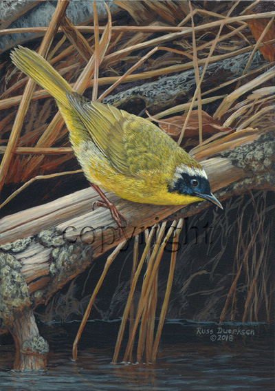 Common Yellowthroat - Giclee Canvas