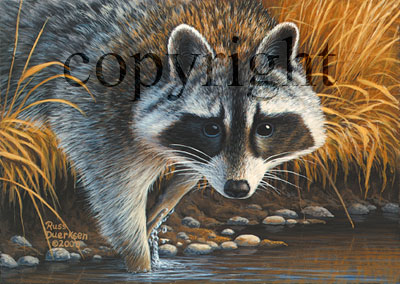 Raccoon - Giclee Canvas