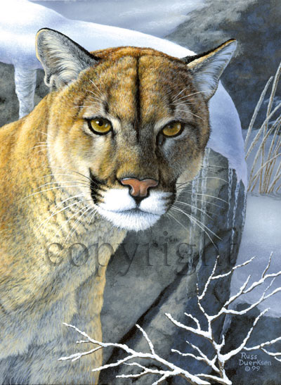 Mountain Lion - Giclee Canvas