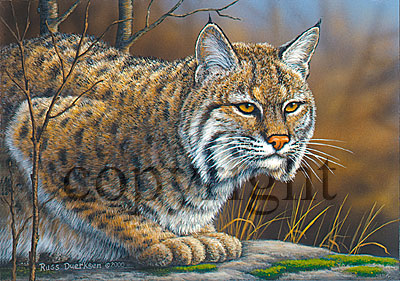 Bobcat - Giclee Canvas