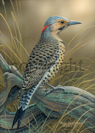 Northern Flicker- Giclee Canvas