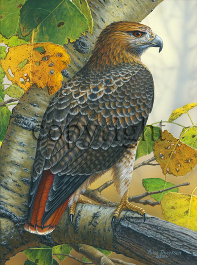 """Birds of Prey - Red-tailed Hawk""  - Giclee Canvas"