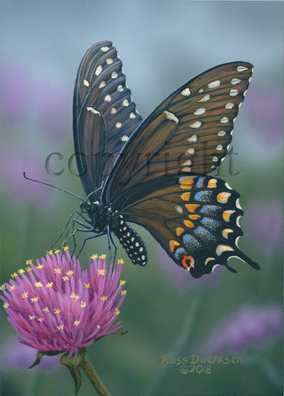 Black Swallowtail on Gomphrena Fireworks - Canvas Giclee