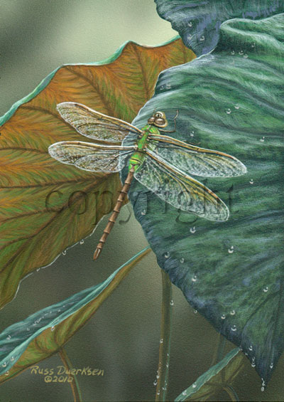 Green Darner Dragonfly - Giclee Canvas