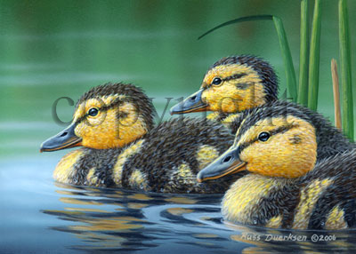 Mallard Chicks - Giclee Canvas