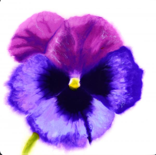 Purple and Violet Pansy