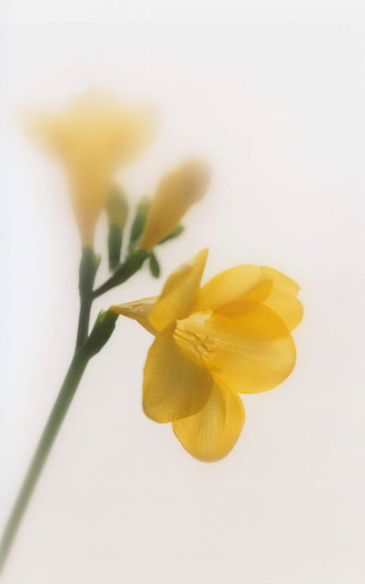 Freesia - P11 - 11X14 matted 16X20