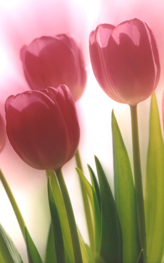 Three Pink Tulips - P252 - 11X14 matted 16X20