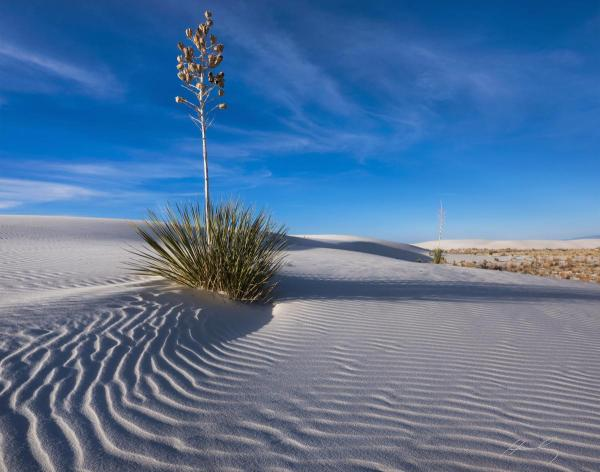 Lone Yucca_White Sands National Monument picture