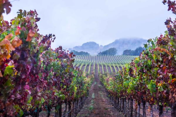 Rainy Day in the Late Autumn Vineyard