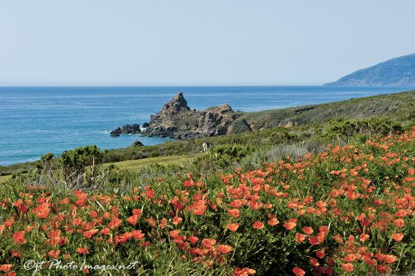Hiway 1 Coastal Golden Poppies picture