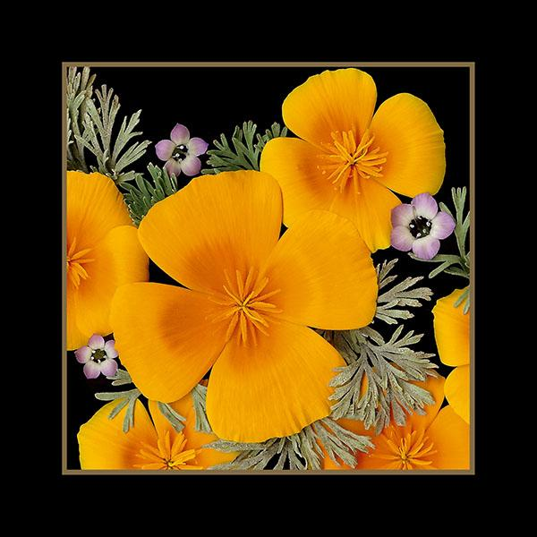 California Poppies Close-up (ID: A-25)