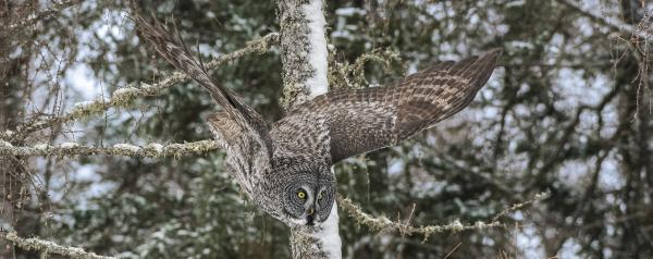 "GREAT GREY OWL - gallery-wrapped canvas • 8"" x 12"" • $40 / 12"" x 30"" • $120 picture"