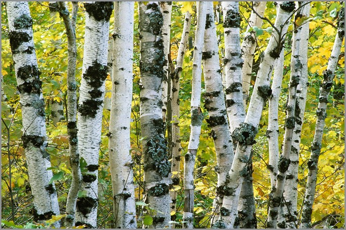 "SUPERIOR BIRCHES - gallery-wrapped canvas •  8"" x 12"" • $40 / 16"" x 24"" • $120"