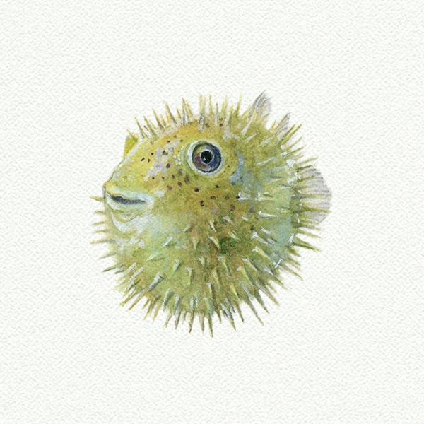 Pufferfish picture