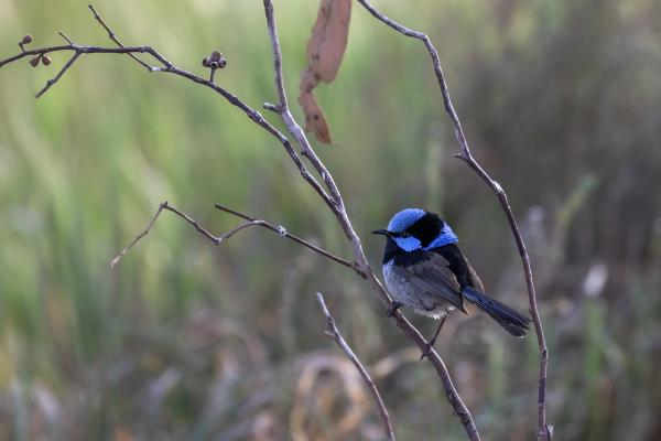 Blue Wren picture