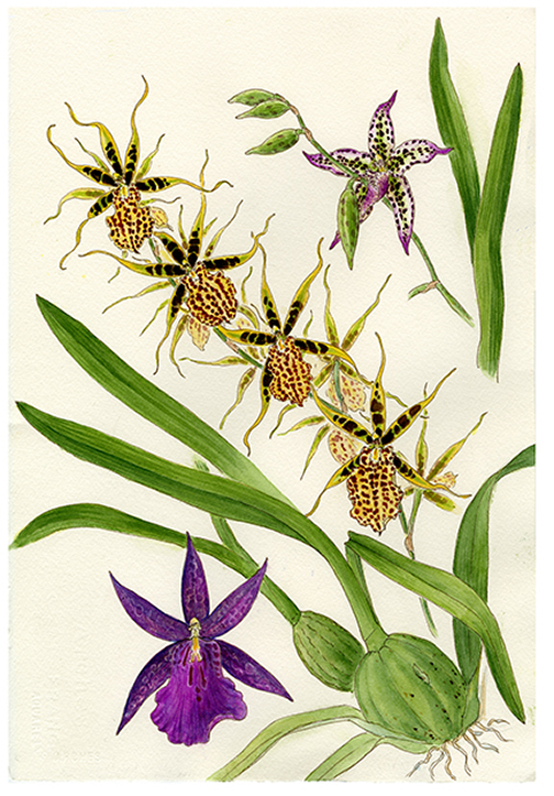 Medley Oncidiinae limited edition orchid print
