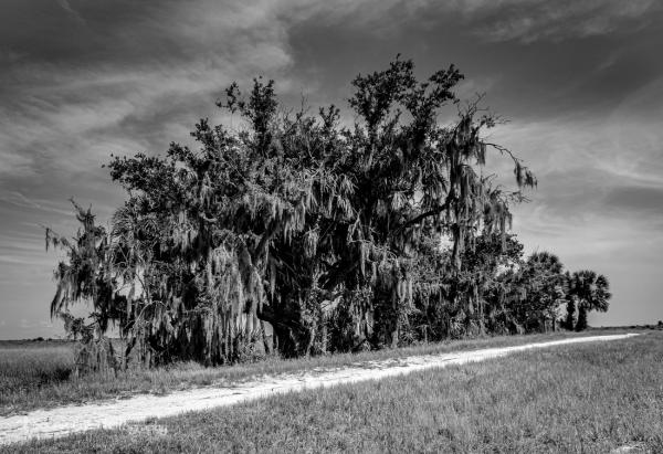 Tree Copse with Spanish Moss