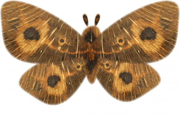 The Wooden Moth
