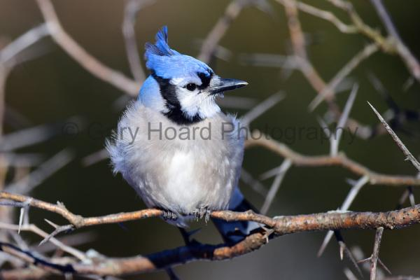 'Bluejay in Honey Locust' - print on metal