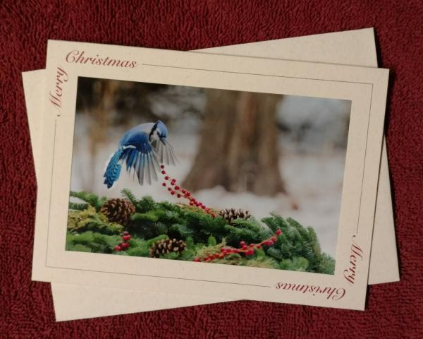 'Hovering Bluejay' notecard