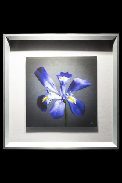 Single Purple Iris picture