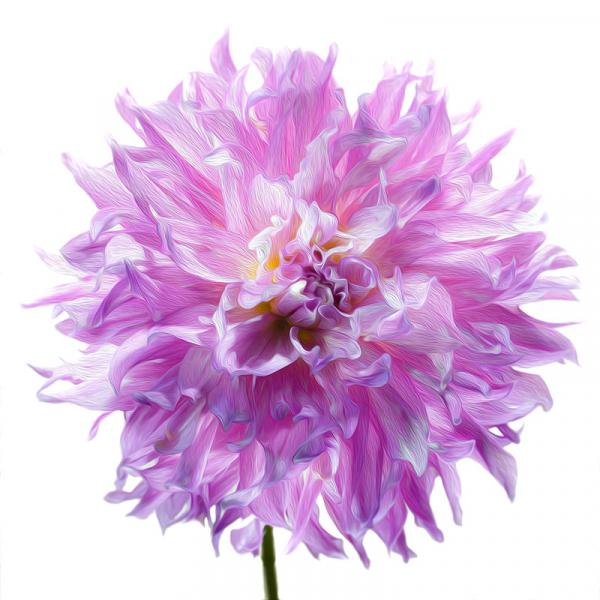 Elsie Huston Dahlia picture