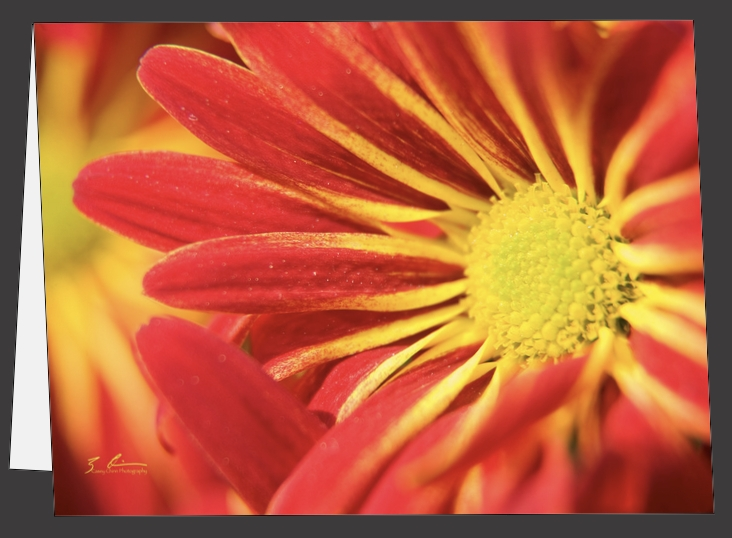 Red Mums - Greeting Cards