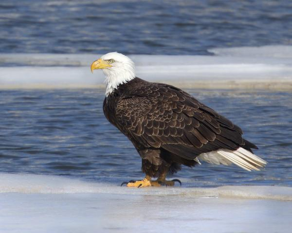 Bald eagle on cove ice picture
